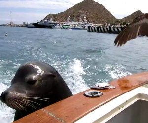 Pellicano ruba cibo di un leone marino
