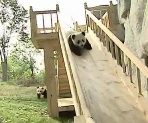 Piccoli panda giocano sullo scivolo