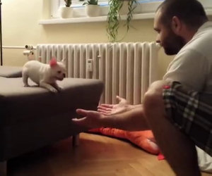 Piccolo bulldog fa un grande salto