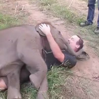 Un piccolo elefante si innamora di questo turista