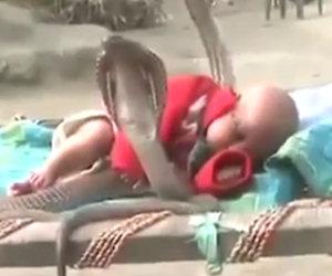 Quattro cobra proteggono un bimbo