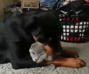 Rottweiler ama follemente un gatto