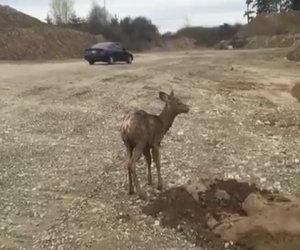 Un cerbiatto resta incastrato nel fango, ecco come viene salvato