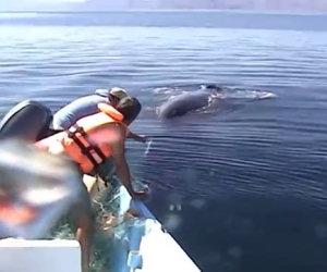 Salvano una balena impigliata
