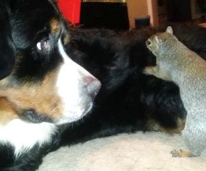 Scoiattolo nasconde cibo su un cane