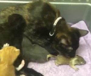 Uno scoiattolo orfano viene allevato da una gatta insieme ai suoi cuccioli