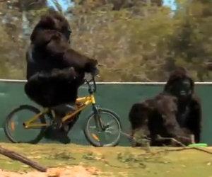 Due persone si travestono da gorilla e trollano i visitatori di uno zoo