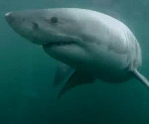 Un ragazzo si tuffa e si trova di fronte un enorme squalo bianco
