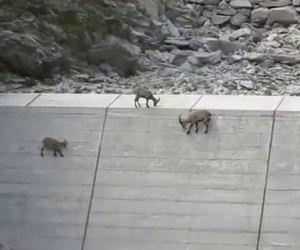Notano qualcosa sulla diga, sono gli stambecchi che si arrampicano