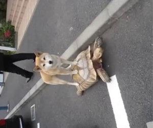 Tartaruga da un passaggio al cane
