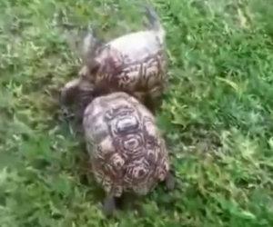 Tartaruga salva l'amico capovolto