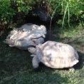 Tartaruga salva la vita ad un'altra