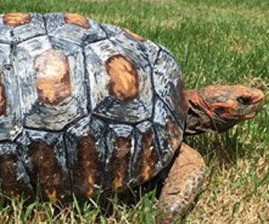 Una tartaruga viene salvata grazie all'aiuto della tecnologia