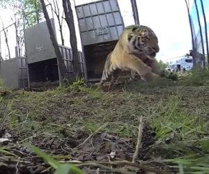 Tigri selvagge ritornano libere