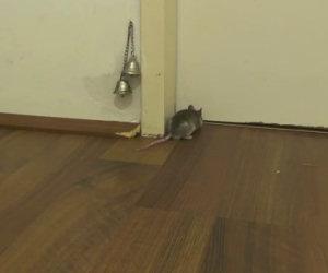 Come bussa alla porta un topo? Non crederete ai vostri occhi