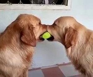 Due cani si contendono una palla, arriva il terzo e li frega entrambi