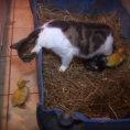 Tre anatroccoli adottati da una gatta
