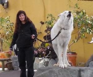 L'ululato di un lupo bianco