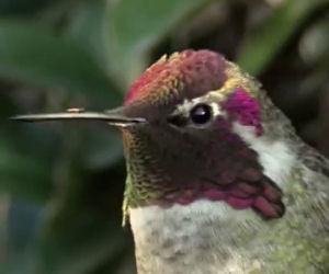 Questo colibrì è stupendo ma aspettate che muova la testa