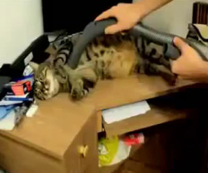 Un gatto che ama l'aspirapolvere
