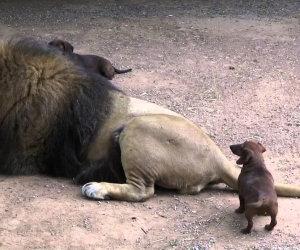 Un bassotto ed il suo migliore amico leone