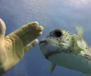 Un pesce palla incontra dei sub ed inizia a giocare con loro