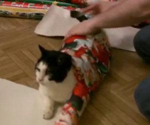 Il gatto si mette sulla carta regalo, ciò che succede dopo è esilarante