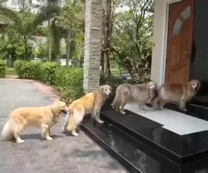 Quattro cani attendono pazienti davanti la porta, ecco perchè...