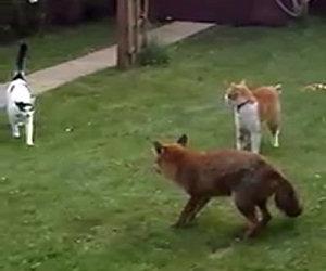 Due gatti affrontano una volpe