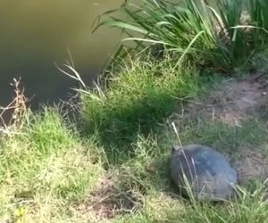 Epico salto della tartaruga