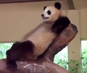 Panda fa la cacca in faccia ad un altro