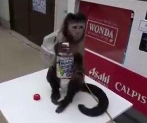 Una scimmia ha sete e compra da bere