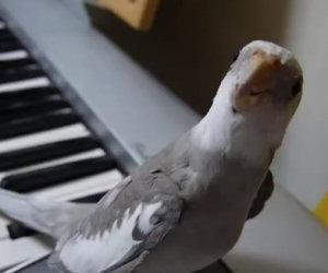 Uccello canta con un pianista