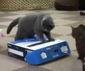 Anche tra i gatti esiste il bullismo