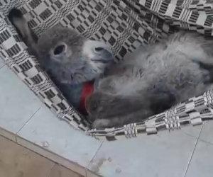 Un asino si dondola sull'amaca, la sua espressione è impareggiabile