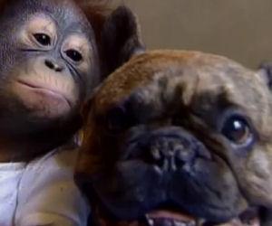 Il baby orango è stato abbandonato, lo adotta un amico speciale