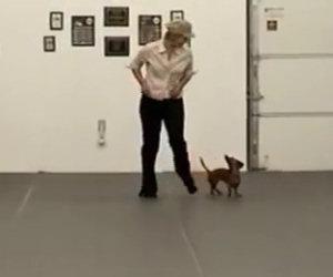 Il bassotto prende posto al centro della stanza e inizia a ballare