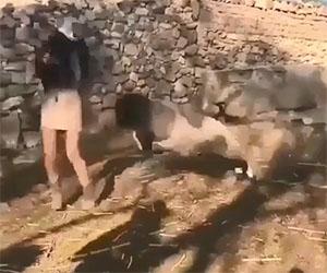 Bella ragazza VS pecora, chi vincerà?