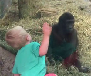Un bimbo e un cucciolo di gorilla si osservano e giocano insieme