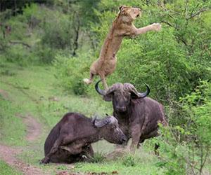 Un bufalo difende il proprio amico dall'attacco di un leone