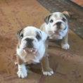 Questi bulldog sono davvero goffi ma inteneriscono il cuore