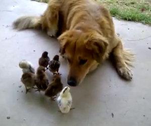 Cane adotta dieci pulcini