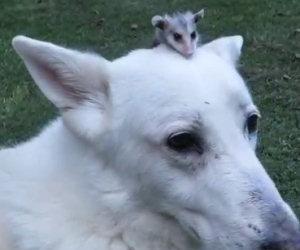 Il cane adotta un piccolo opossum che ha perso la mamma