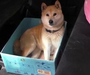 Al cane piace viaggare in una scatola, ecco lo scherzo del padrone