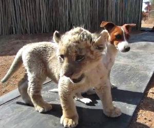 Cane e leoncino, migliori amici