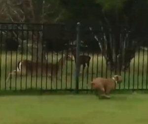 Cane gioca a nascondino col cervo