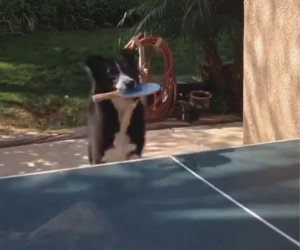 Questo cane si diverte giocando a ping pong con il suo padrone