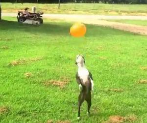 Il cane vede un pallone rosso per aria, la sua reazione fa ridere
