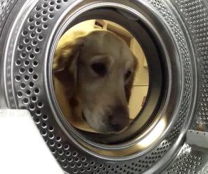 Il cane si avvicina alla lavatrice e fa qualcosa di molto divertente