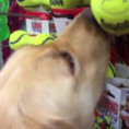 Chiede al cane di scegliere il suo giocattolo preferito e lui lo fa!